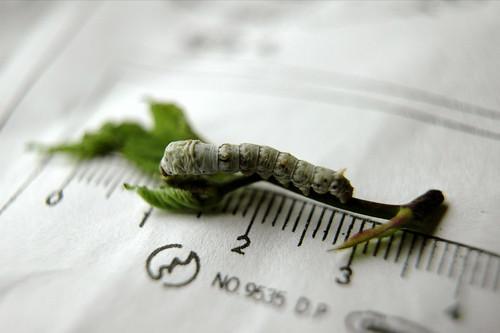 カイコ silkworm