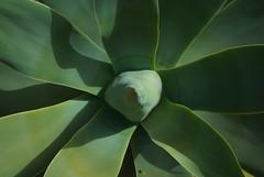 Echte Aloe (Aloe vera)