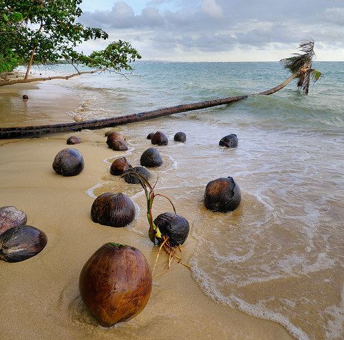 Coconuts germinating on unspoiled beach