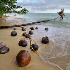 Coconuts germinating on unspoiled beach (Bn) Tags: bravo tropicalisland kohmak coconuts 500faves goodtimes topf400 crystalclearwater topf500 coconutbeach amazingthailand coconutpalms topf600 kokospalmen komak sunseaandsand relaxingatthebeach 400faves rainingseason coconutpalmtrees 600faves unspoilednature hangingpalmtree calmyourmind tranquilenvironment 32degreescelius 90f smootheyoursenses whatmoretheyneed treasureofthailand 10000palmtrees rainingmonsoon uninhabitedbeaches kohmakisland perfectplacetorelax wherelessismore ourprivatebeachonkohmak naturaltropicalparadise letsswiminthesea idealdestination whatmorekidsneed hangingoverthesea khaobeach haadkhao