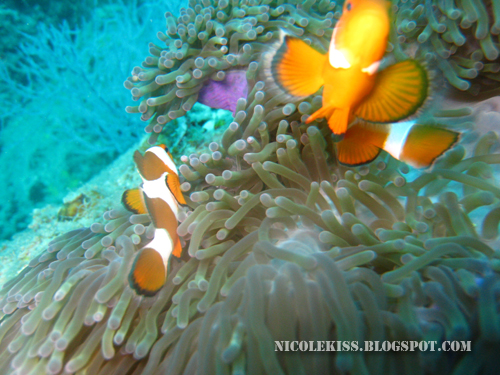 two clown fish 3