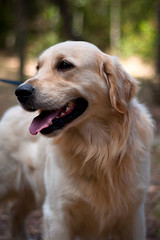 Golden Retriever (Rob McFrey) Tags: sardegna italy dog animal cane 50mm golden nikon italia sardinia bokeh retriever rob roberto nikkor f18 50 animali cagliari fifty nifty d90 bokehoftheday mcfrey defraia