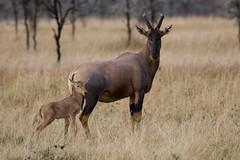 Topi and young fawn (BrianScottImages) Tags: topi masaimara naturesfinest blueribbonwinner specanimal tisfortopi