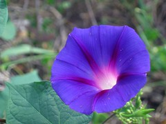 Roadside Morning Glory