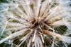 Fluffy (olvwu | 莫方) Tags: usa macro ga georgia seed dandelion savannah jungpangwu oliverwu oliverjpwu olvwu jungpang 莫方 吳榮邦