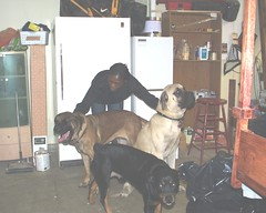 Excalibur, Lady, Sage with Kathy (muslovedogs) Tags: dogs mastiff rottweiler sage kathy excalibur mylady