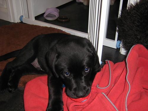 black labrador puppy - Ben