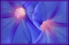 Light source with frame (photosbyflick) Tags: flower color art award morningglory lightsource diamondclassphotographer flickrdiamond