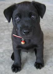 black puppy toto