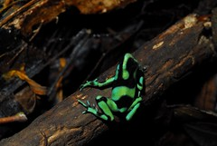Black and Green Dart Frog (Michael Graupe) Tags: costa green rainforest rica frog dart animalplanet dendrobates dominical haciendabaru auratus