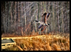 Banking (Finiky) Tags: winter bird birds geese flight finiky birdsinflight waterfowl 2008 canadageese d3 huntleymeadows afewofmyfavoritethings afewofmyfavoritethingstoo