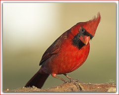 The Red, Red Cardinal (Momba (Trish)) Tags: red bird nature nikon bravo searchthebest cardinal tennessee d200 nikkor momba northerncardinal nikond200 supershot flickrnature platinumphoto anawesomeshot avianexcellence megashot