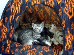 Nana and her babies [Day 24] (Chrischang) Tags: pet animal cat kitty tent nana 貓 zaizai pawpaw 仔仔 banban 泡泡 斑斑 kissablekat 20080130 nanababyday24