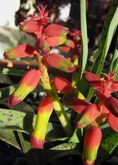 Lachenalia aloides var. quadricolor