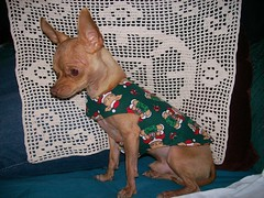 DE PURITITO CHIHUAHUA (Zulivan) Tags: christmas family chihuahua dogs more worried perritos
