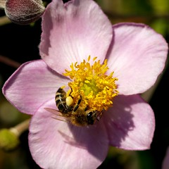 A honey bee collecting pollen from an Anemone from Japan. (Bienenwabe) Tags: flower macro insect bee honeybee ranunculaceae honigbiene apismellifera anemonejaponica japananemone impressedbeauty diamondclassphotographer flickrdiamond excellentsflowers natureselegantshots mimamorflowers anemonefromjapan