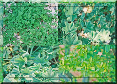 SHADES OF GREEN FROM MY GARDEN (fantartsy JJ *2013 year of LOVE!*) Tags: flowers macro nature beauty clover mygarden greenplants myyard greenthings naturesfinest arizonanature theperfectphotographer envyenviedphotos theviewatourplace