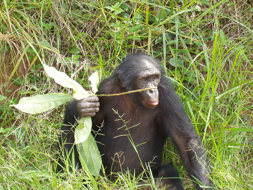 bonobo looking wise