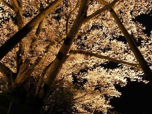 仏隆寺(千年桜)ライトアップ-06