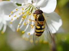 Peaceful lunch :-) (Britta's photo world) Tags: flower macro insect bloom pollen britta 60mmf28dmicro niermeyer abigfave macromarvels goldstaraward