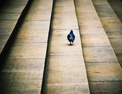If I Had Wings, I'd Never Walk... (RLJ Photography NYC) Tags: bird walking pigeon steps challengeyouwinner anawesomeshot aplusphoto youvsthebest pratibimbsangli betterthangood thepinnaclehof