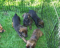 Mastweiler Pups (Doc in the middle) (muslovedogs) Tags: dogs mastweilers