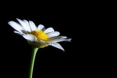 Marguerite (Andrea&Mike@Flickr) Tags: white flower green yellow blossom marguerite blume margerite