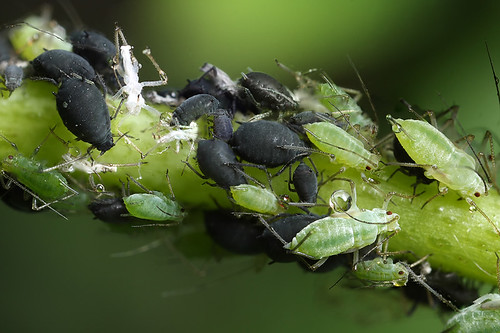 Integration - black and green aphids together