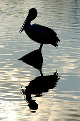 ╩The Ultimate pelican silhouette reflection shot╩ (Axemaniac-Art) Tags: lake reflection water silhouette rock pentax australia august shy pelican victoria ripples 2008 bendigo bigmomma faithfull gamewinner lakeweeroona k100d pentaxk100d august2008 photofaceoffwinner pfogold axemaniac august72008 pregamewinner axemaniac2008