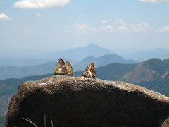 Several Charaxes butterflies on the summit of Mt. Mabu, Mozambique