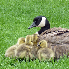 Beautiful Family (njchow82) Tags: family bird nature wildlife goslings canadagoose inspiredbylove beautifulexpression supereco worldofanimals njchow82 dmcfz35