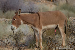 Wild-Burro-with-erect-penis-in-Red-Rock-Canyon-national-conservation-area-Nevada-001.jpg (RogueSocks) Tags: redrockcanyon usa weather animal day desert lasvegas nevada donkey clear burro jackass erect nevadadesert bluediamond bonniesprings wilddonkey timeofday wildburro springmountainranchstatepark nevadastatepark donkeypenis nevadausa redrockcanyonnevada redrockcanyonlasvegas redrockburro redrockcanyonvegas nevadawildburro burropenis erectburropenis erectdonkeypenis wildjackass pinkdonkeypenis spotteddonkeypenis