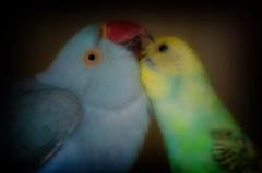 Forever Friends (michaelschollum) Tags: pets birds parrot budgie