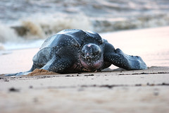 Leatherback sea turtle (~~Steph~~) Tags: ocean sea beach southamerica nature animal america french sand nest turtle reptile south crawl herp leatherback naturesfinest frenchguiana guiana dermochelys specnature dermochelyscoriacea awala yalimapo coriacea