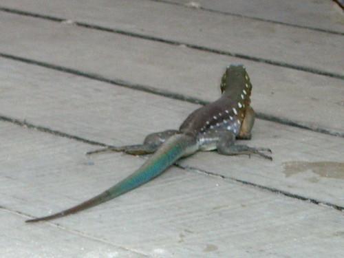 Lizard rear