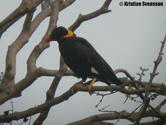 Common Hill Myna (Gracula religiosa) (macronyx) Tags: bird nature birds thailand wildlife birding aves digiscoping birdwatching myna hillmyna commonhillmyna graculareligiosa gracula