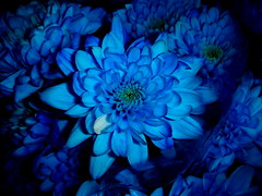 Blue's perfume... (juntos ( MOSTLY OFF)) Tags: flowers blue color me perfume bunch flowerpower theblues singintheblues 10faves masterphotos colorphotoaward impressedbeauty superbmasterpiece fabulousflowers top20blue beautyiseyebeholder flowersandgarden impressedbyyrbeauty bkueribbon hiddentresures