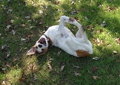 DSC01439.JPG (Web_Anna) Tags: park family nature grass sisters outside puppies birddog cutedogs blackandwhitedog dogwrestling englishspringerspaniel fortwoof dogsmile huntingdogs americanfoxhound brownandwhitedog playingingrass