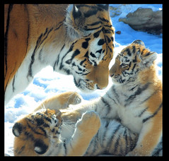 Tiger Family Portrait (singhsardar) Tags: snow toronto ontario animal animals jack zoo tiger coco cubs endangered siberiantiger bigcats tigress tatiana torontozoo tigercubs tigercub specanimal siberiantigercubs animalmothers impressedbeauty superaplus aplusphoto bestof2007 diamondclassphotographer flickrdiamond tigersplaying tigerfamily siberiantigerfamily playingcubs tigersplayinginsnow tigercubsplayinginthesnow