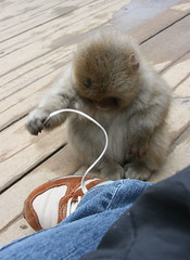 Kid monkey playing with my shoe lace :) (yewco) Tags: japan monkey kid play curiousgeorge  curious nagano  shoelace   myshoe