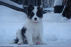 Snowy Girl (LisaNH) Tags: puppy sheepdog explore icelandic i500 fiveflickrfavs tusjan08
