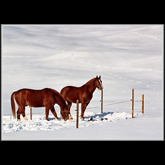 Winter pasture (Katarina 2353) Tags: horses white winter snow animals couple davos slope grace nature landscape switzerland swiss europe suisse film ski snowboard perfect beauty romantic earth world beautiful dream land color alps gettylicence tjkp priroda katarina2353 katarinastefanovic photography flickr image nikon pejza paisaje paysage
