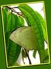 Lemon Emigrant or Common Emigrant (Catopsilia pomona pomona or C. crocale)