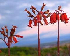 Coastal Fynbos Flowers (RobW_) Tags: flowers wednesday southafrica vermont coastal february 2008 fynbos crassula westerncape pigsear overstrand walkerbay feb2008 diaryphoto mdpd2008 mdpd200802 06feb2008