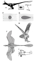 microraptor flight