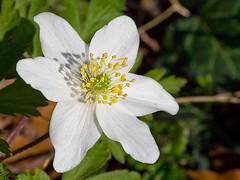 Buschwindrschen (Josef Sauerland) Tags: flower spring anemone blume frhling wiosna buschwindrschen anemonenemorosa zawilec windrschen zawilecgajowy schneetrpferl osterblmchen fewerbloom