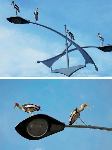 Pelicans @ Putrajaya