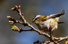 Estrelinha Real // Firecrest (jvverde) Tags: wild bird portugal birds natureza birdsinportugal avesemportugal pssaro aves na ave gaia