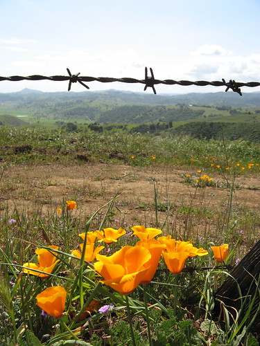 Poppies and barbed wire