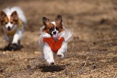 (kamonegi_jp) Tags: park travel dog japan papillon 5d karubi ef70200mmf28lisusm ef14x